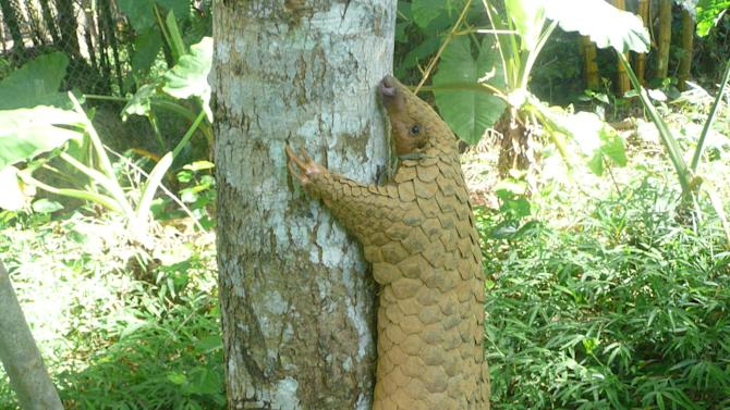 The pangolin, commonly found across south-east Asia, is the only creature in the world entirely covered in scales. Its tail, which can grow to over 50cm, has 30 scales on it alone. The creature is classed as endangered as experts say people simply 'aren't aware of these animals'. (Sunda pangolin_Carnivore and Pangolin Conservation Programme)