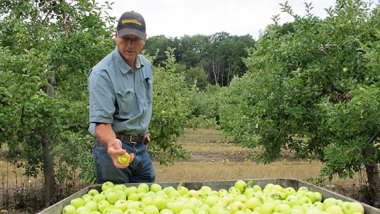 In an Aug. 13, 2012 photo grower Alan Spinniken examines a bin filled with Early Gold apples in his orchard near Suttons Bay, Mich. Spinniken lost about one-third of his crop because of bad weather but said he's grateful things weren't worse. (AP Photo/John Flesher)