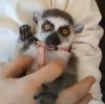 Lemur, please!