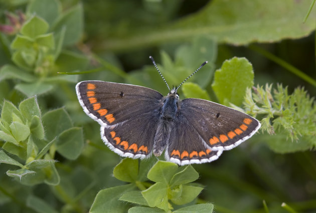 This undated photo provided by Butterfly Conservation shows a brown Argus butterfly. Global warming is rescuing the once-rare small British butterfly, according to a study in the journal Science publi