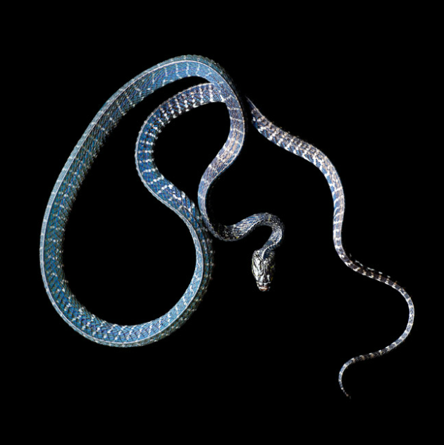 Laita Serpentine