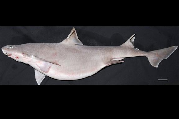 Rare Sharks Unexpectedly Found in Australian Waters