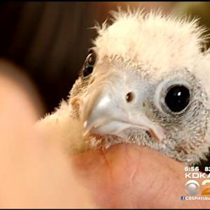 Experts: Peregrine Falcon Chick Developing Slowly