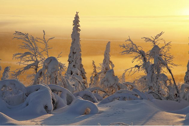 Frozen taiga forest in magical light, Finland. The Taiga is the greatest forest on Earth, containing at least a third of all the world's trees. The vast stretches of forest are restricted to one or tw