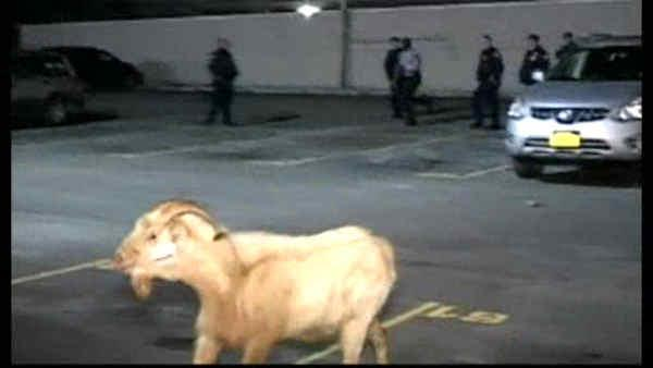 Goat escapes, circles hospital parking lot
