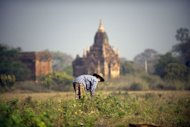 A woman gathers dry seeds from the fields among the pagodas in Myanmar&#39;s northern ancient town of Bagan in February 2012. The United States eased financial restrictions to allow US-based non-governmental groups to operate in Myanmar, putting into place an incentive to encourage democratic reforms