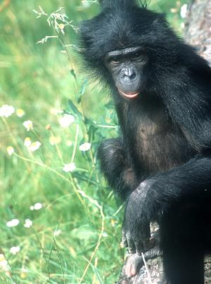 Unraveling the Bonobo's Genome, and its Secrets