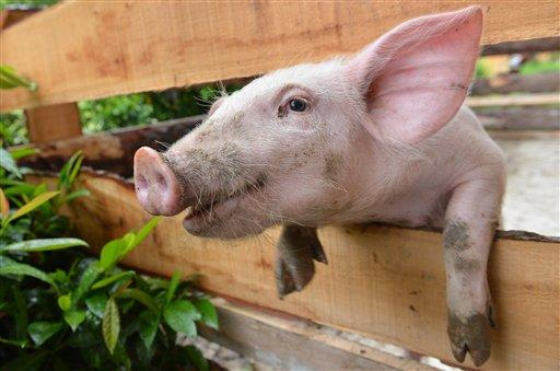 A young pig peers through a fence in Lofer, Austrian province of Salzburg, Wednesday, 13 June 2012. After heavy rain showers the weather forecast predicts temperatures up to 24 degrees Celsius (75,2 degrees Fahrenheit) in some parts of the country. (AP Photo/Kerstin Joensson)