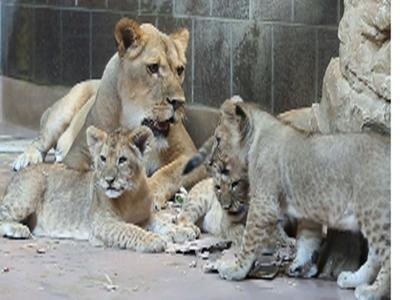 Omaha Zoo Announces Names of 5 Lion Cubs