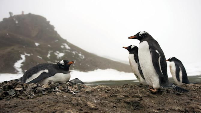 Gentoo penguins on the shore of King George Island, Antarctica