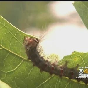 Gypsy Moth Caterpillars Invade Cape Cod