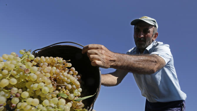 Temuri Dolenjashvili, 53, harvests grapes from a family vineyard that provides the only income for his family of five, Sagareyo, Georgia, Sunday, Sept. 30, 2012. Georgia holds tightly contested parliamentary elections on Oct. 1. (AP Photo/Efrem Lukatsky)