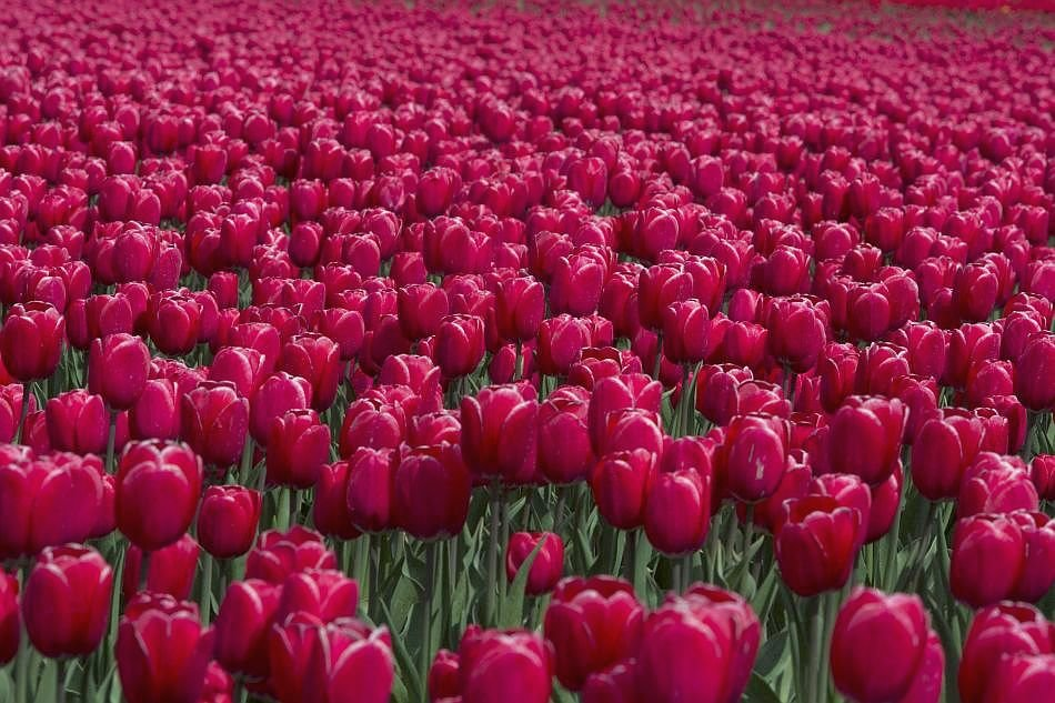 Rose Tulips Wallpapers