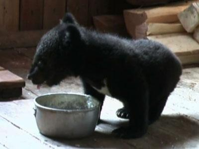 Raw: Russian Bear Cubs Rescued