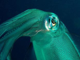 Squid fish atau yang umum dikenal sebagai cumi-cumi di perairan Bali. Foto: Wisuda