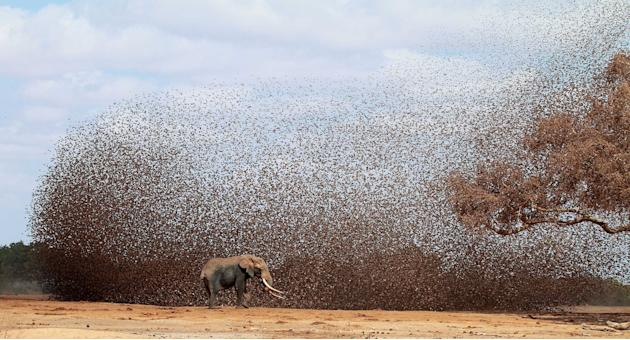 This stunning photo shows the moment a herd of elephants disturbed hundreds of red-billed queleas, small birds that weigh just ten grammes each, at a watering hole in East Tsavo, Kenya (Caters)