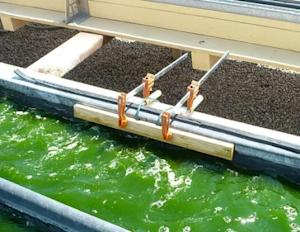 Are Algae Biofuels a Realistic Alternative to Petroleum?