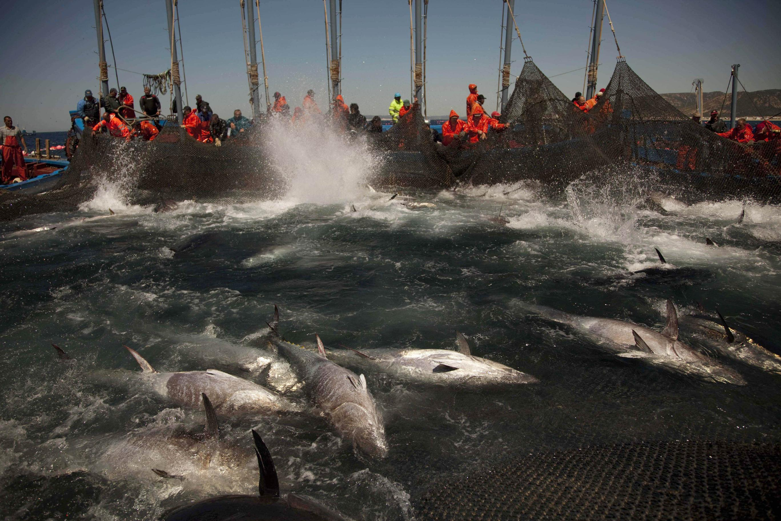 EU, others: Catch plans for Bluefin tuna threaten recovery