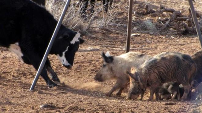 Feral pigs in action, taking over a livestock area and preventing this cow from eating.