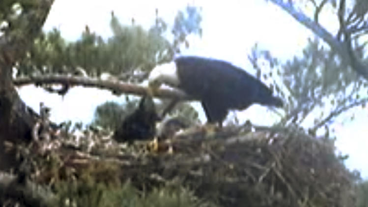 Viewers frustrated as baby eagle dies on webcam
