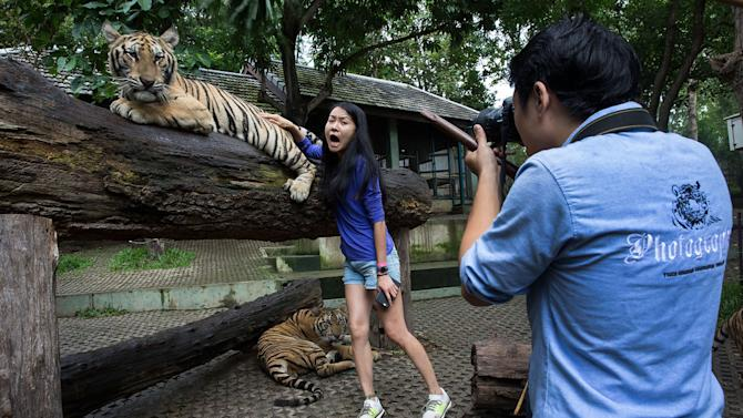 Photos of the day - July 29, 2015 A Chinese tourist screams in fear as a tiger's swishing tail brushes against her back at Tiger Kingdom on July 29, 2015 in Mae Rim, Thailand. Face painting and celebrations marked International Tiger Day at Tiger Kingdom where tourists can pay to pet tigers and pose for photos. (Taylor Weidman/Getty Images)