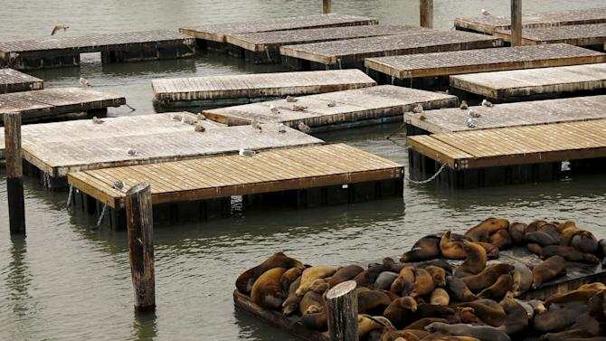 Sea lions gather on a floating dock at Pier 39 in San Francisco