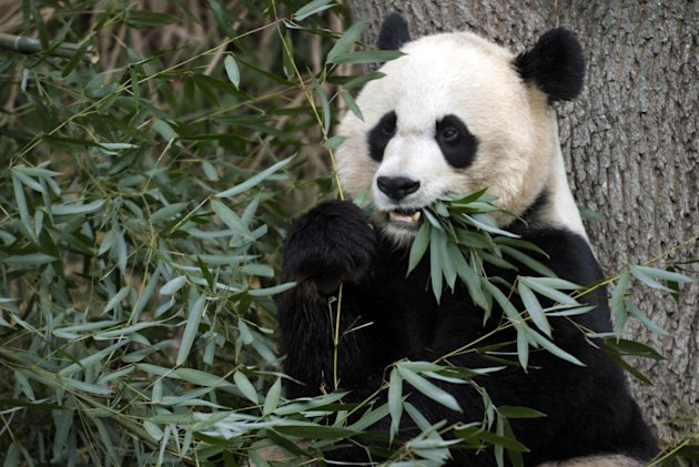 FILE - In this Dec. 19, 2011 file photo shows Mei Xiang, the female giant panda at the Smithsonian's National Zoo in Washington. The panda cub born to Mei Xiang on Sept. 16, 2012, after five consecutive pseudo pregnancies over the years, died Sept. 23, 2012. (AP Photo/Susan Walsh/File)