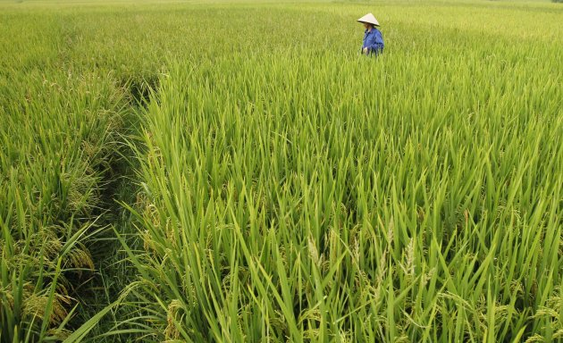 A farmer visits her rice paddy field in Hanoi
