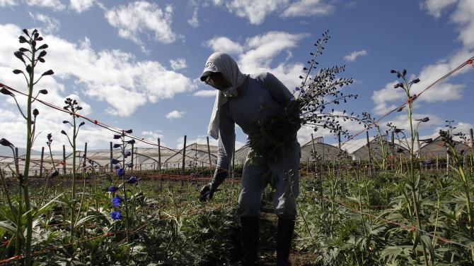 A man harvests flowers on the Valleflor flower farm in Pifo, Ecuador, Saturday, June 29, 2013. A week after National Security Agency leaker Edward Snowden began his flight across the globe, every passing day without him making progress toward Ecuadorean asylum makes the prospect look less likely. But the men who grow roses, asters and delphinia in the thin air of Ecuador's sun soaked highlands are deeply concerned that, whatever happens to Snowden, they may turn out to be the most unlikely collateral damage from the geopolitical wrangle over his fate. (AP Photo/Dolores Ochoa)