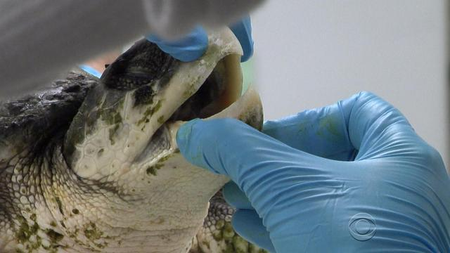 Endangered Kemp's ridley turtles get second chance