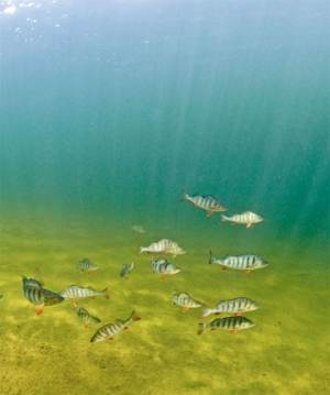 Drugs Leaked Into Rivers Make Fish Antisocial