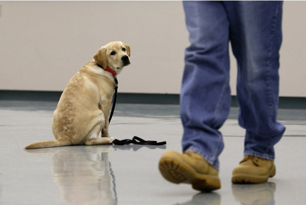 In this Nov. 26, 2012 photo, Dill, a veteran assistance dog in training, looks on as inmate John Barba walks away after commanding him to sit and stay during a demonstration at Western Correctional In