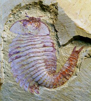 Oldest Arthropod Brain Found in Buglike Creature
