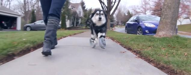 Dog gets 3D-printed legs, runs for first time