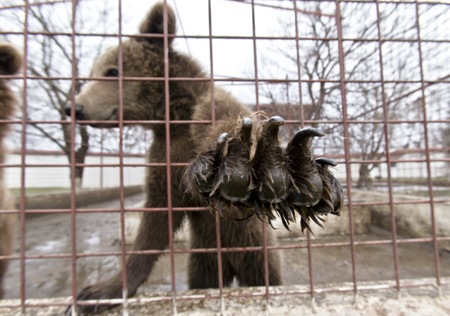 A bear reaches out from a cage at the estate of Ion Balint, known to Romanians as Nutzu the Pawnbroker, a notorious gangster, in Bucharest, Romania, Wednesday, Feb. 27, 2013. Authorities along with specialists of the animal welfare charity Vier Pfoten removed four lions and two bears that were illegally kept on the estate of one of Romaniaís most notorious underworld figures who reportedly used them to threaten his victims. Balint was arrested on Feb. 22, with dozens of others on charges of attempted murder, depriving people of their freedom, blackmail and illegally holding arms.(AP Photo/Vadim Ghirda)