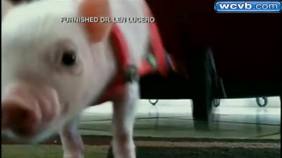 Little piggy gets special wheelchair
