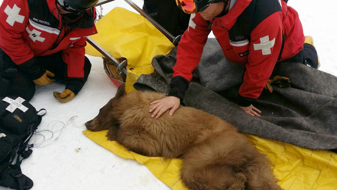 a bear cub is seen receiving care on March 3, 2014, at the Heavenly Mountain Ski Resort