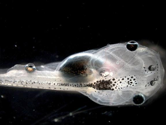Whoa! Mutant Tadpoles Sprout Eyeballs on Their Tails