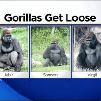 Gorillas Open Unlocked Door, Zoo Goes On Lockdown