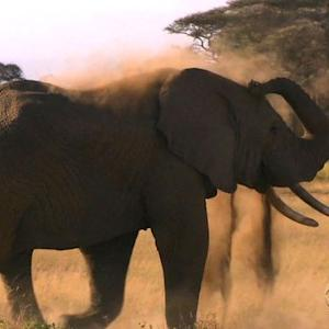 Poachers push elephants to brink of extinction