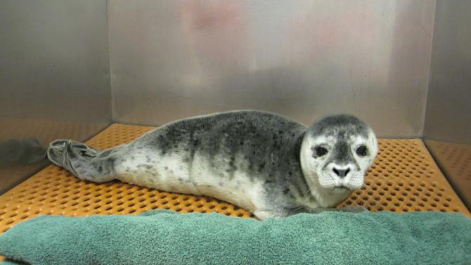 In this photo provided by Riverhead Foundation for Marine Research and Preservation, a female Harbor seal pup rests on a mat in the Riverhead Foundation facility at the Long Island Aquarium in Riverhead, N.Y. Riverhead Foundation biologists responding to multiple calls of a distressed seal, found her struggling against the surf and was transported her back to the Foundation's marine mammal hospital. (AP Photo/Riverhead Foundation for Marine Research and Preservation)