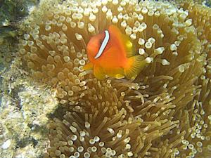 Dancing Nemo: Clownfish Wiggles Do an Anemone Good