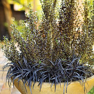Black mondo edges coprosma