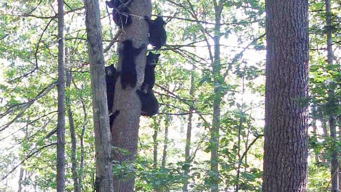 In this photo provided by Ben Kilham orphaned black bears are seen playing in a tree inside an 8-acre forested enclosure, Sept. 21, 2012 in Lyme, N.H. Ben Kilham is the state's only licensed bear rehabilitator. Typically he cares for three to five black bear cubs each winter. But when a bad year for feeding followed a good one for breeding, he ended up with 27 orphaned bears to to take care of for the winter. (AP Photo)