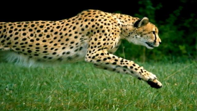 'Cheetahs on the Edge': Video of World's Fastest Runner