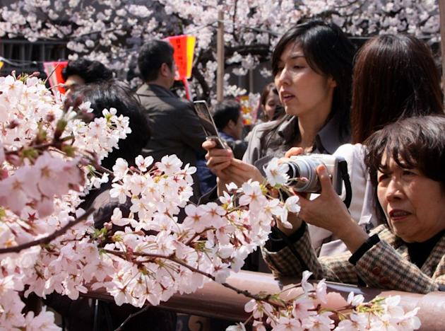 Japan gets back its cherry blossom fever