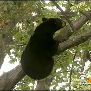 Bear Tranquilized After Eluding Capture For Hours In Ridgewood, NJ
