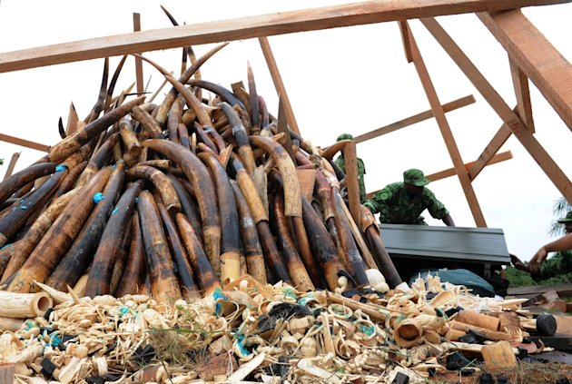 Soldiers arrange a pyre of elephant tusks and thousands of pieces of worked ivory as they prepare to burn ivory stocks corresponding to roughly 850 dead elephants, in Libreville, Gabon, Wednesday, Jun