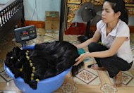 A woman is seen weighing bunches of hair at a family hair workshop in Binh An village, in the northern province of Bac Ninh. The traditional farming area has been transformed due to the sale of hair, which has become big business globally. Exports of Vietnamese locks sustain some 500 families -- or 80 percent of the population in this area