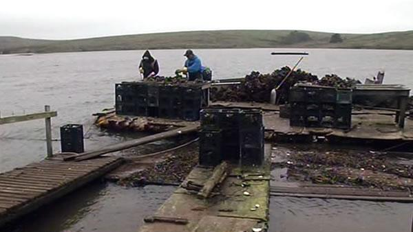 New allegations of scientific misconduct at oyster farm